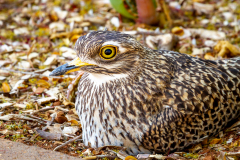 Spotted-Thick-knee2